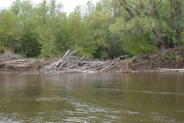 Скопление топляка у входа в затон на правом берегу р.Урал