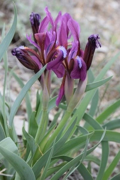 Ирис низкий (Iris pumila L.)