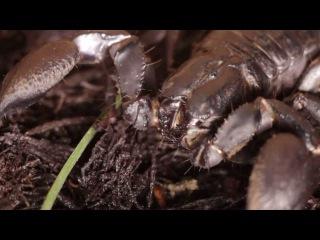Все О Домашних Животных: Императорский Скорпион