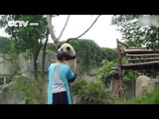 Как снимали панду с дерева