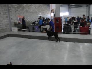 доберман 7 Монопородная выставка собак ранга ПК (02.05.2015) г. Сургут