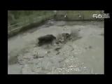 Кабан_против_бойцовских_собак