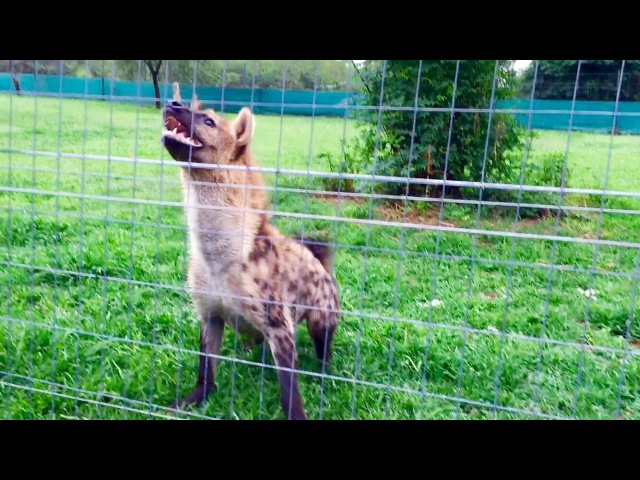 Roxy the hyena laugh loudly in front of her meal