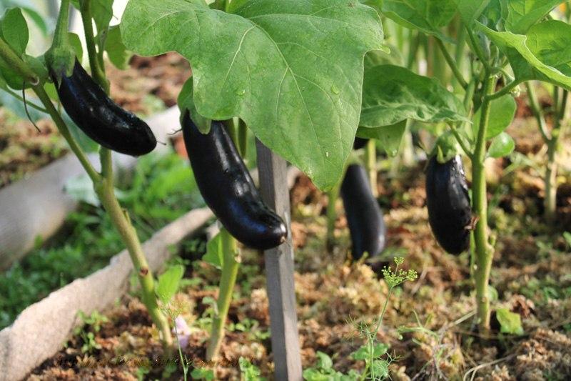 Мох - сфагнум, мох лесной болотный - бесплатная органическая мульча