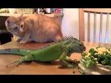 Забавные животные. Игуана и кот. Кот в шоке