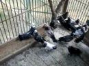 николаевские торцовые голуби