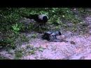 Ворон живьем ест голубя 13 мая 201405 часов утра HD