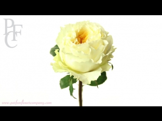Роза 'Beatrice' от Дэвида Остина