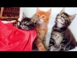 1,5 месячные котята мейн-куны. Помет С