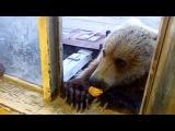 вот такие добрые русские медведи на колыме
