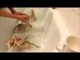 Fennec fox babies take a bubble bath