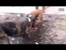 Собачьи бои Гуль донг VS питбуль 3