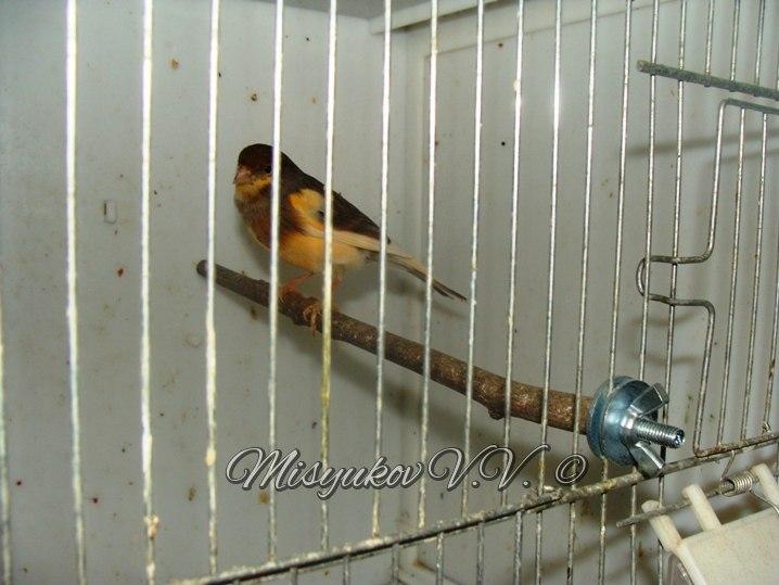 Жердочки у моих птиц  MmJK5l02-DE