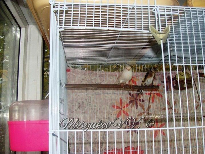 Жердочки у моих птиц  MKPg02HVybA