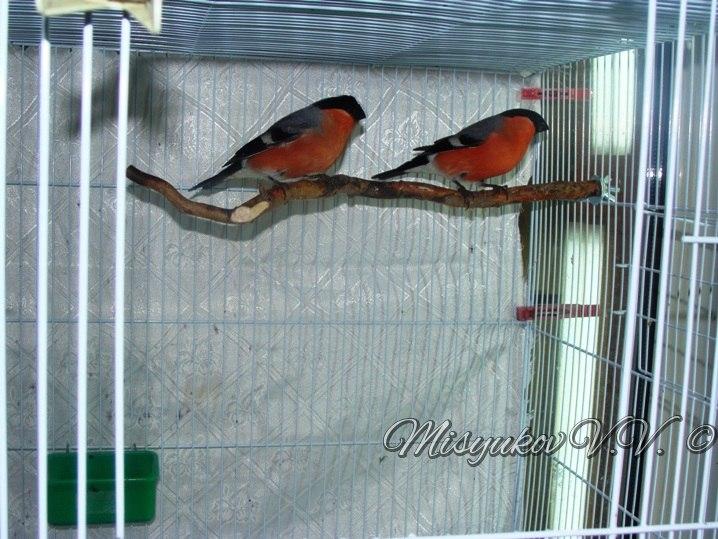 Жердочки у моих птиц  ZxZswoAzSq4