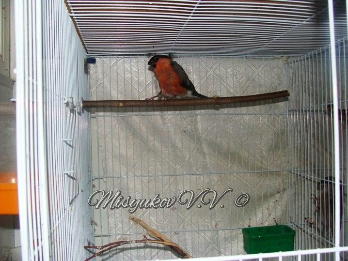Жердочки у моих птиц  2_VTnq8CTgs