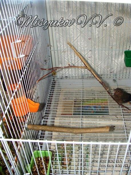 Жердочки у моих птиц  YSgamcgYQWc
