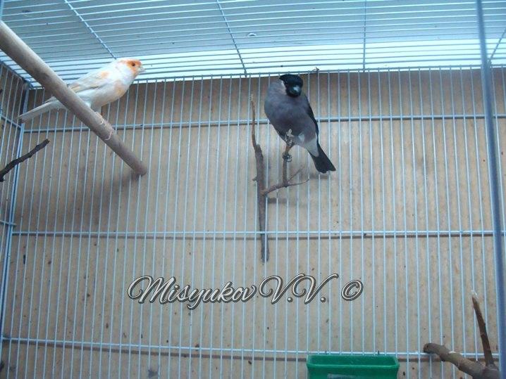 Жердочки у моих птиц  BGR1BiRq4ns