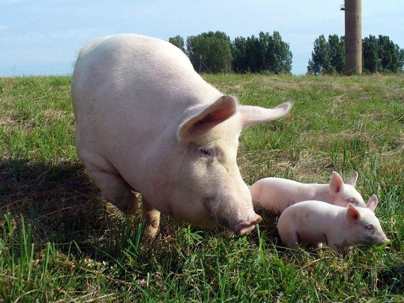 В одном из районов Ростовской области на отдельной территории введен карантин по хламидиозу свиней
