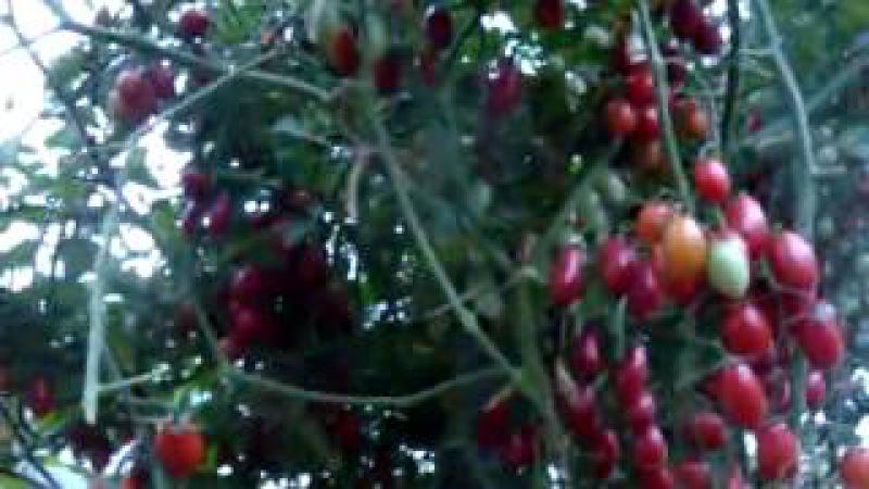 Помидоры сорта Спрут, уход и выращивание