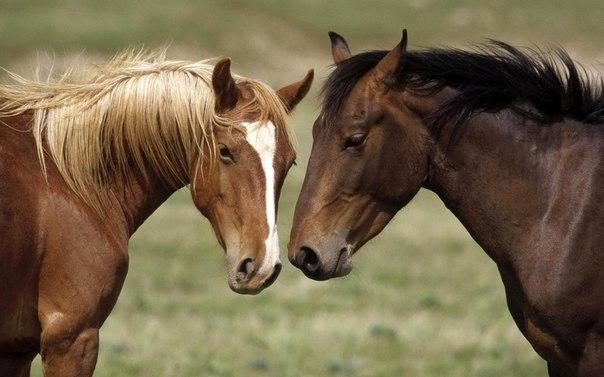 Ринопневмонія коней