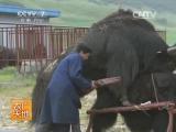 大通牦牛养殖技术 (Искусственное разведение яков на ферме ''Датун'', провинция Цинхай)。