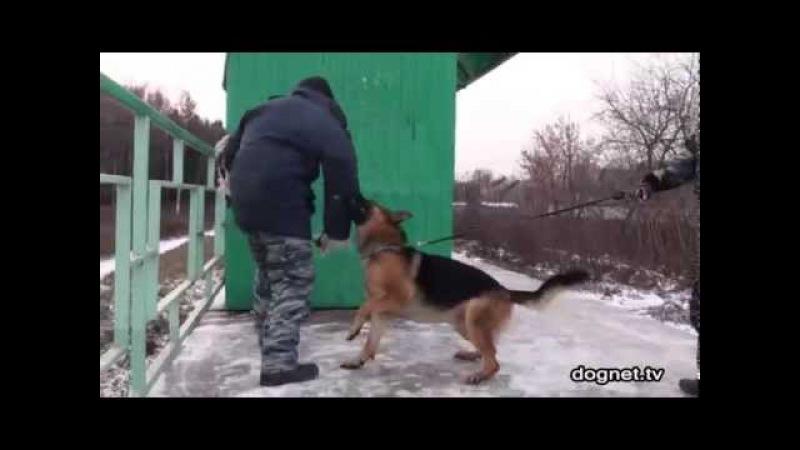 Настоящая собака-защитник! Немецкая овчарка Чак