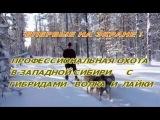 Профессиональная охота в Западной Сибири с гибридом волка и лайки. Казис Буошка.