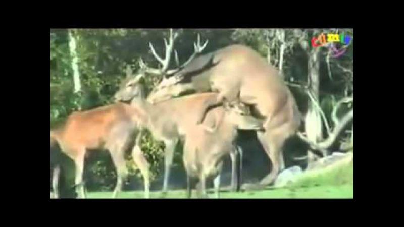 олень вдул! не делай так))/deer made quickly/鹿性