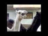 Приятный смех ламы