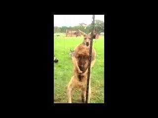 Накаченый кенгуру отбирал деньги у туристов!