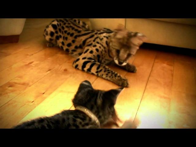 порода кошек Саванна Ашера