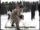 Собачьи бои Рамзана Кадырова.