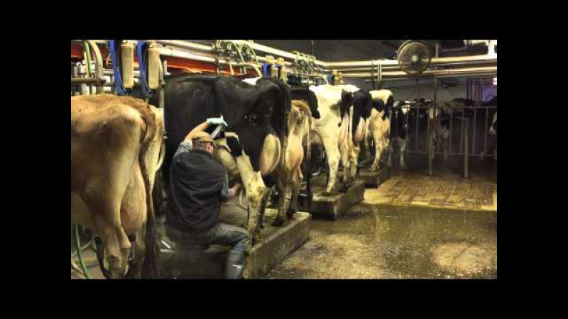 Milking time at Mosnang Holsteins.