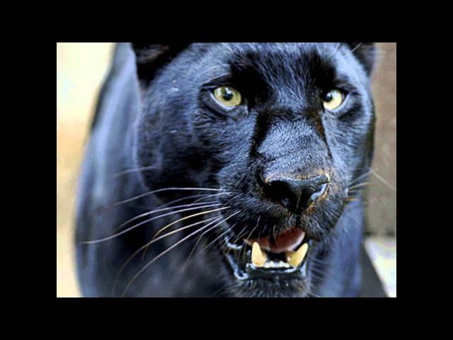 Завораживает...Черная Пантера. Black Panther