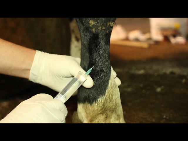 БЛОКАДА нервов пясти у КОРОВЫ (по Шаброву). Nerve block metacarpus in cows (by Shabrov).