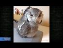Орущая сова