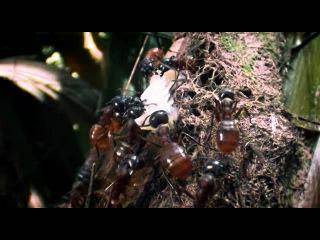 Муравьи- мощь природы во плоти