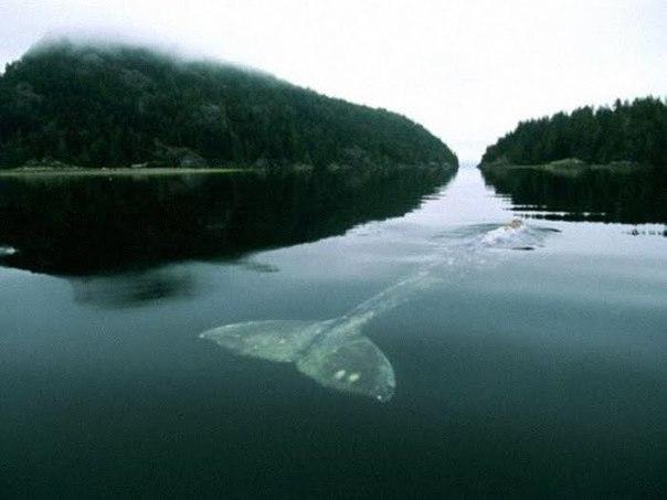 САМЫЙ ОДИНОКИЙ КИТ В МИРЕ Ученые знают про этого кита уже очень давно – статья про него появилась в New York Times еще в 2004 году, а впервые кит-одиночка был замечен почти 20 лет назад, в 1992 году, специалистами Национального управления по исследованию океанов и атмосферы. Кита помог обнаружить специальный прибор – гидрофон, разработанный инженерами американского военно-морского флота для обнаружения вражеских подводных лодок. Фактически единственным методом коммуникации у китов является…