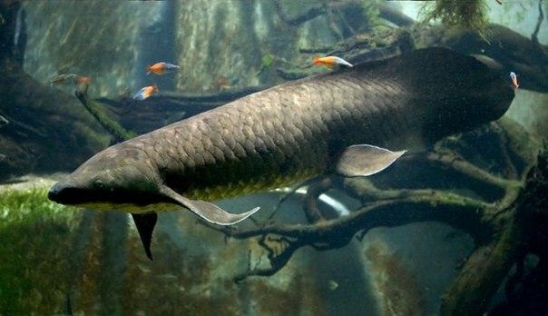Рогозубы являются еще одними представителями двоякодышащих рыб.
