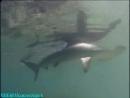BBC: 10 самых опасных акул / BBC: Ten Deadliest Sharks 1 Часть (2001) BDRip [Feokino]