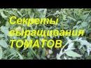 Мои секреты выращивания томатов.