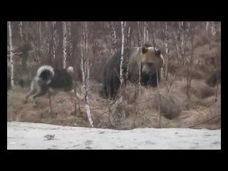 Dog fight against a bear / Бой собаки против медведя