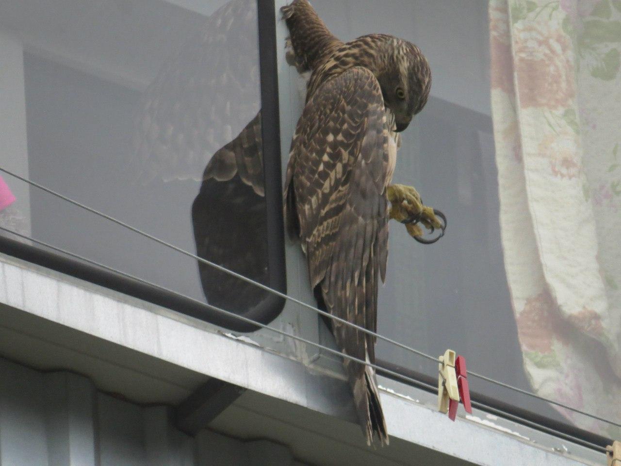 В брянске спасли застрявшего на балконе ястреба.