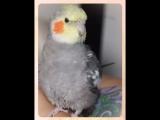 Мажорик ! Попугай корелла нимфа