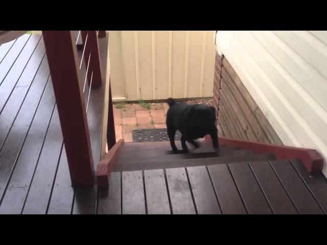 Hardcore Pug AKA Piesek Napierdalacz