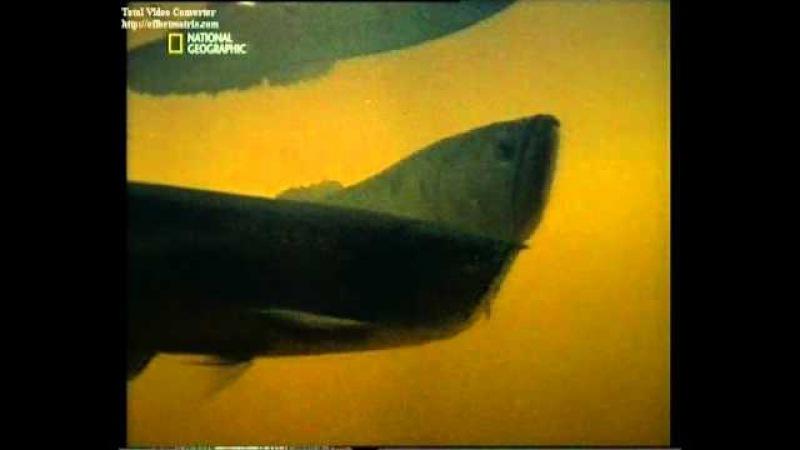 Доисторическая рыба- арована.wmv
