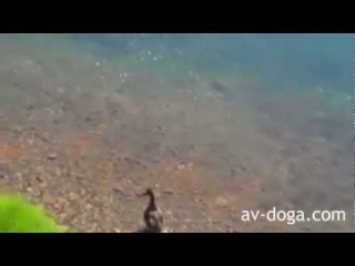 Balık Ördeği Yutuyor - İnanılmaz Olay