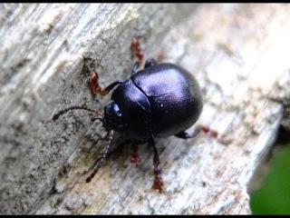 Chrysolina sturmi - Leaf Beetle / Blattkäfer