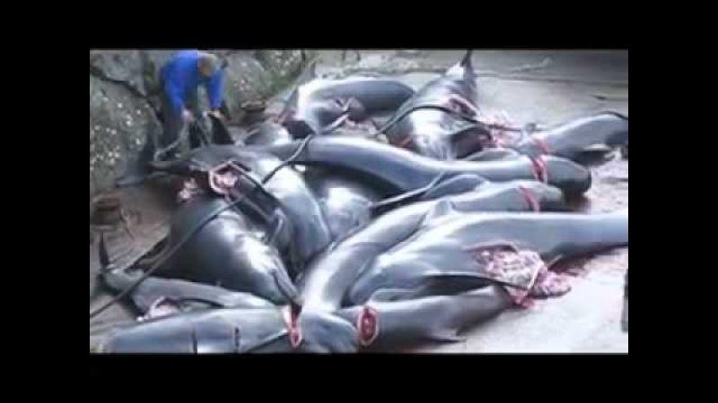 Matanza de delfines en Islas Feroe